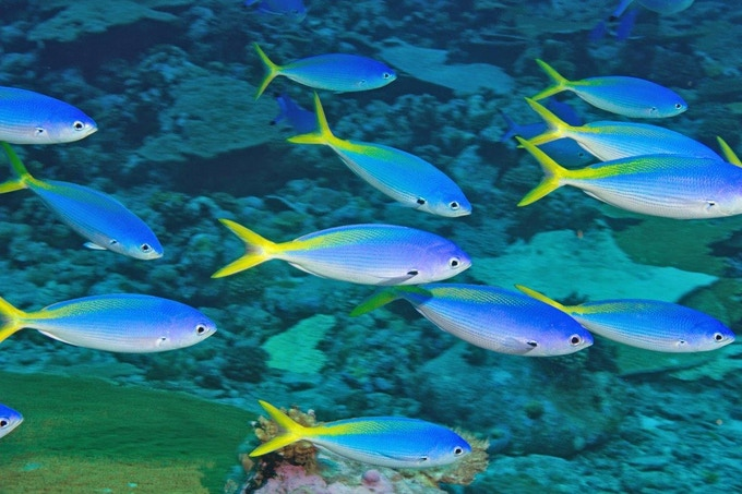 Yellow tail fusiliers in the British Indian Ocean