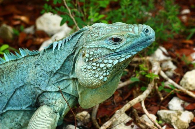 Blue Iguana on Grand Cayman (Cayman Islands)
