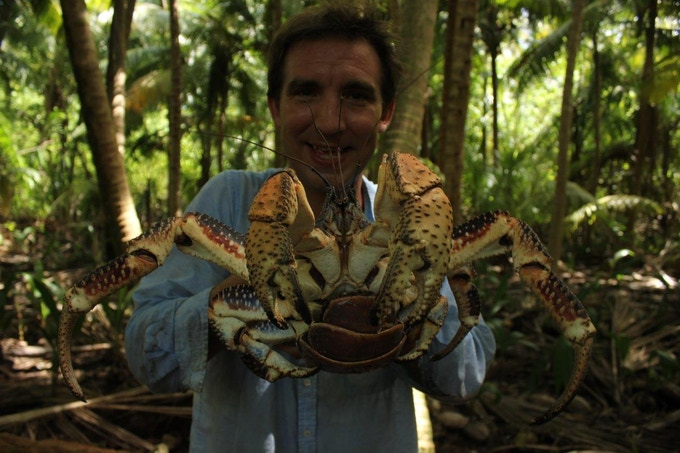 Coconut crabs on British Indian Ocean Territory