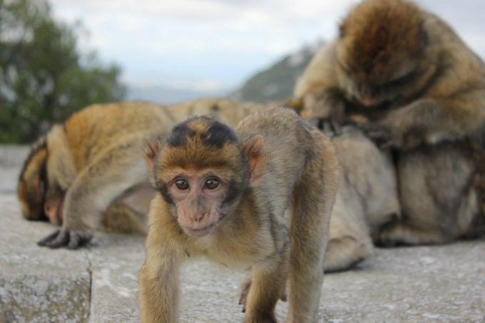 Barbary macaque on Gibraltar