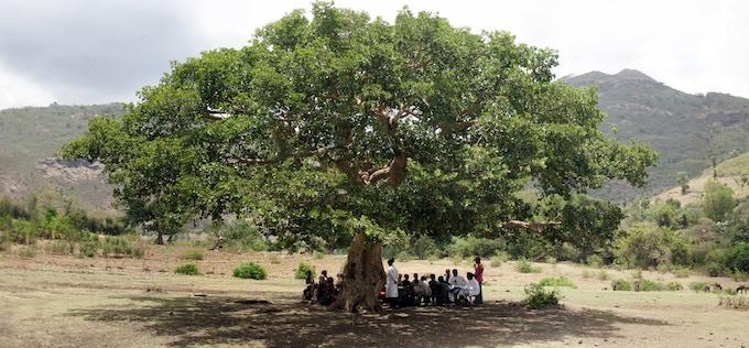 Warka tree (Ficus vasta) - Ethiopia - 2012