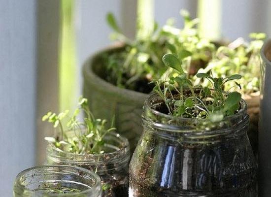Herbs sprouting in a Mason Jar Garden planter