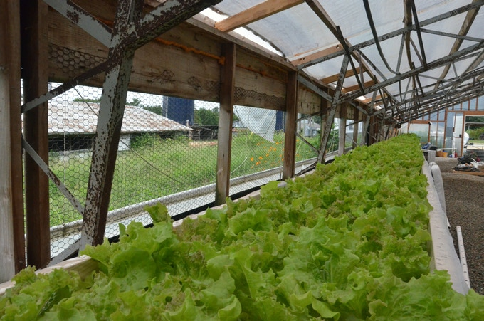 Mixed lettuce growing in DWC hydroponic beds