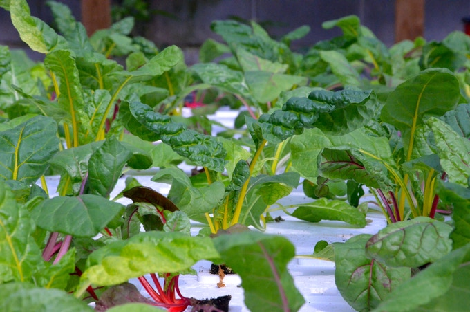Delicious Rainbow Swiss Chard growing in DWC hydroponic raft system