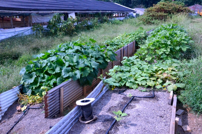 Super raised beds experimenting with composted chicken manure. Awesome results! and a lot of weeds!