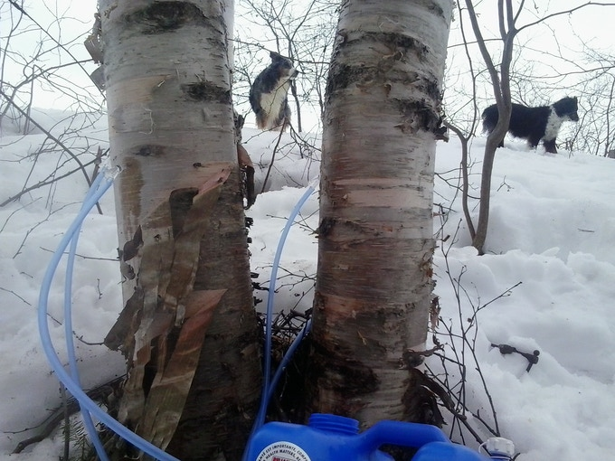 Aussies along for the journey on the Birch trail