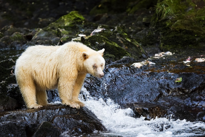 Postcard of iconic Spirit Bear in Great Bear Rainforest with photo by Andrew S. Wright
