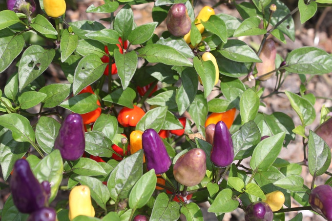Our Chinese Five Color Peppers