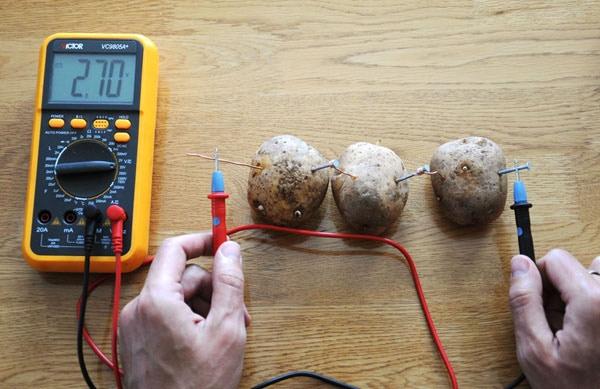 Potatoes acting as power-producing batteries.