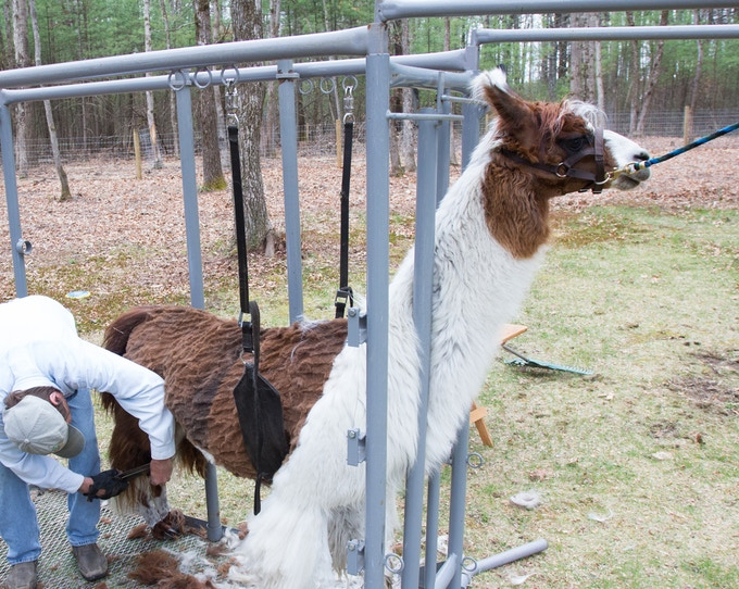 Start by harvesting the fiber from a llama