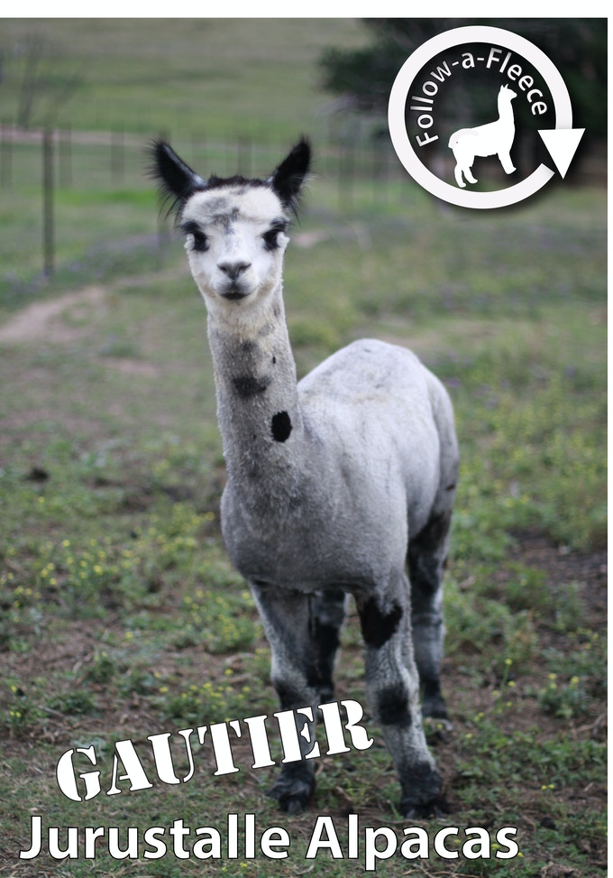 "Follow-a-Fleece - ""Gautier"". Find out about his story and receive 1/4 of his saddle fleece processed into yarn."