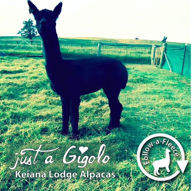 "Follow-a-Fleece - ""Just a Gigolo"". Find out about his story and receive 1/4 of his saddle fleece processed into yarn."