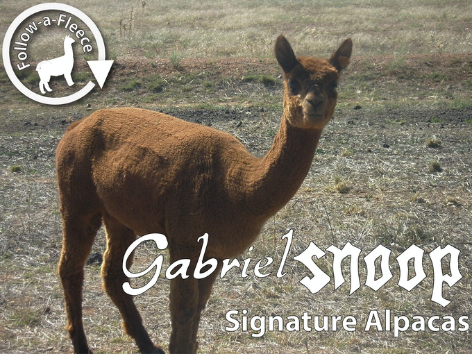"Follow-a-Fleece - ""Gabriel (Snoop)"". Find out about her story, why she is called snoop and see photos of her cria when its born, and receive 1/4 of her saddle fleece processed into yarn."