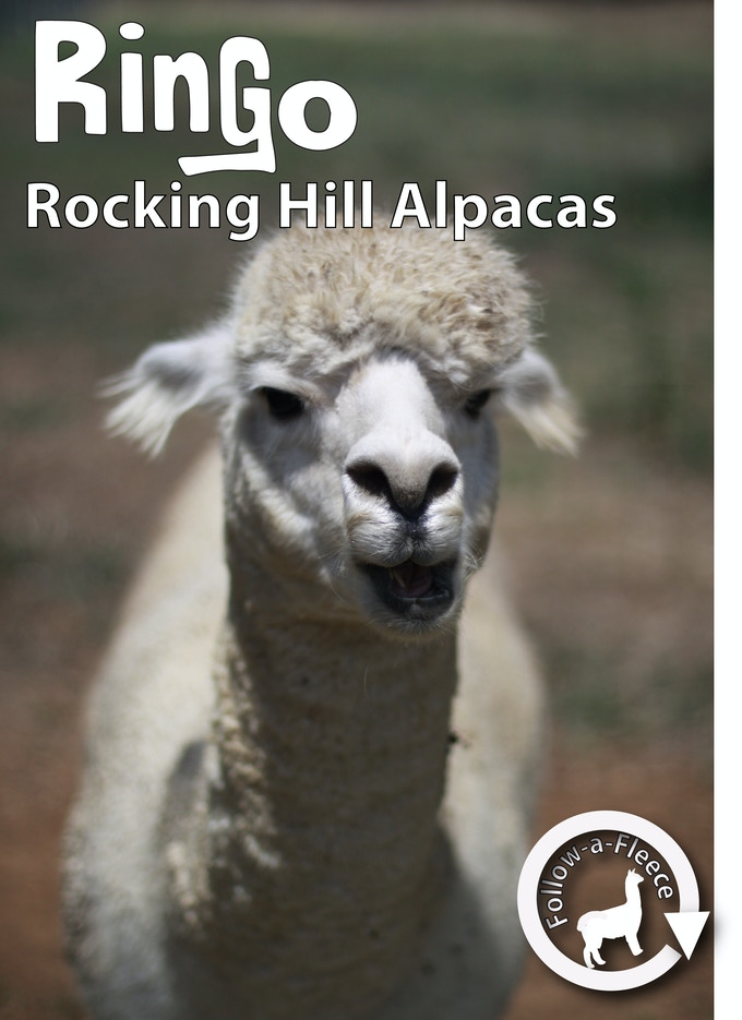 "Follow-a-Fleece - ""Ringo"". Find out about his story and receive 1/4 of his saddle fleece processed into yarn."