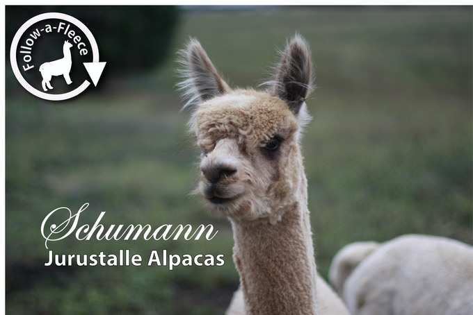 "Follow-a-Fleece - ""Schumann"". Find out about his story and receive 1/4 of his saddle fleece processed into yarn."