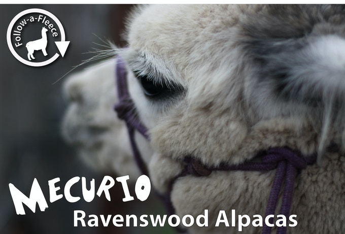 "Follow-a-Fleece - ""Mecurio"". Find out about his story and receive 1/4 of his saddle fleece processed into yarn."