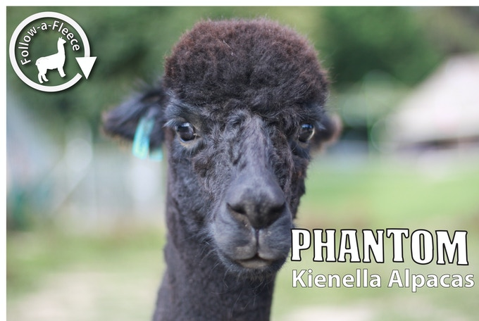 "Follow-a-Fleece - ""Phantom"". Find out about his story and receive 1/4 of his saddle fleece processed into yarn."