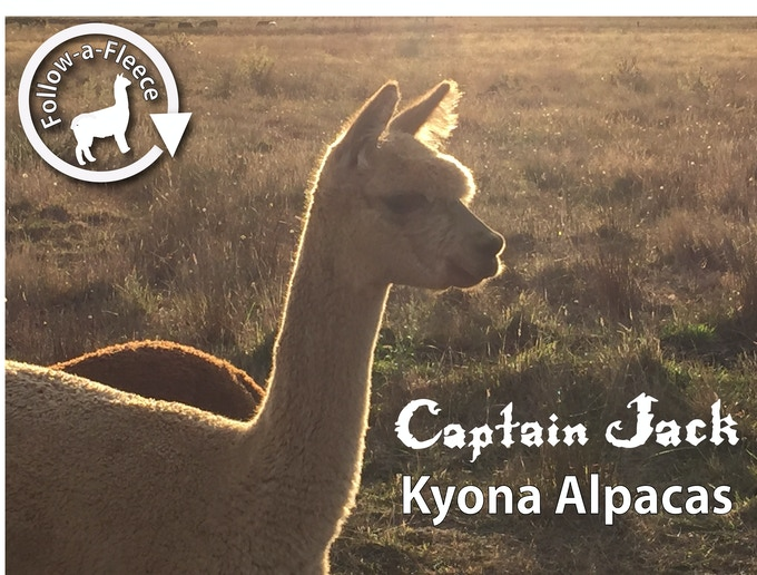 "Follow-a-Fleece - ""Captain Jack"". Find out about his story and receive 1/4 of his saddle fleece processed into yarn."