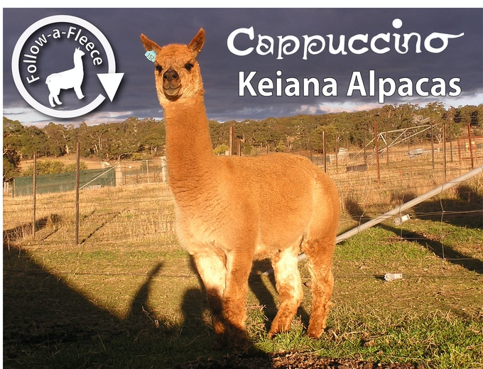 "Follow-a-Fleece - ""Cappuccino"". Find out about his story and receive 1/4 of his saddle fleece processed into yarn."