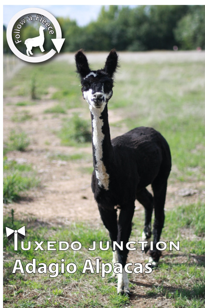 "Follow-a-Fleece - ""Tuxedo Junction (Tux)"". Find out about his story and receive 1/4 of his saddle fleece processed into yarn."