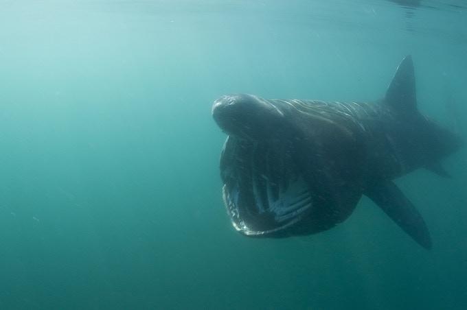 Basking Shark!