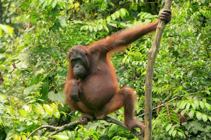 Orangutan, Borneo, Malaysia