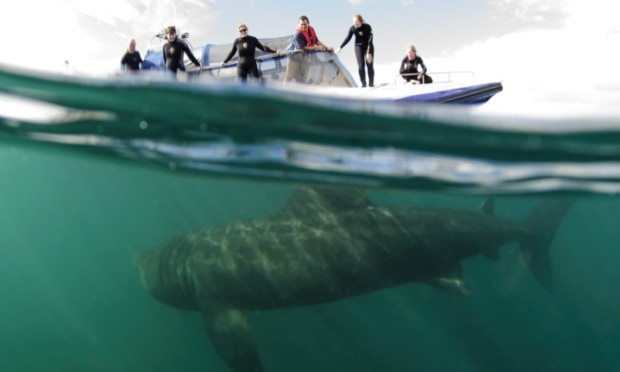 Basking Sharks Scotland Tour Boat with Shark