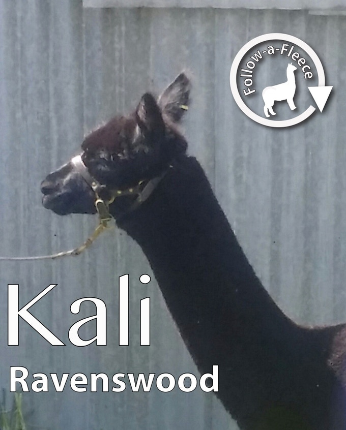 "Follow-a-Fleece - ""Kali"". Find out about her story and receive 1/4 of her saddle fleece processed into yarn."