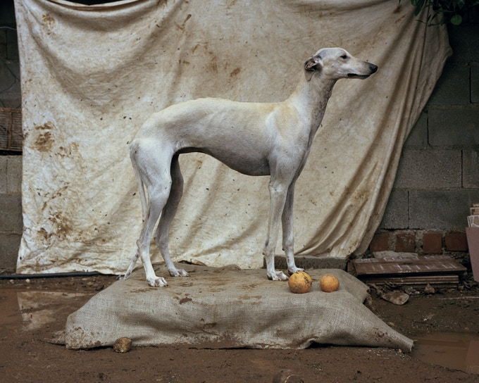 A Spanish Greyhound or 'Galgo' - one of the most iconic of the hunting dogs, used for coursing hare across winter plains