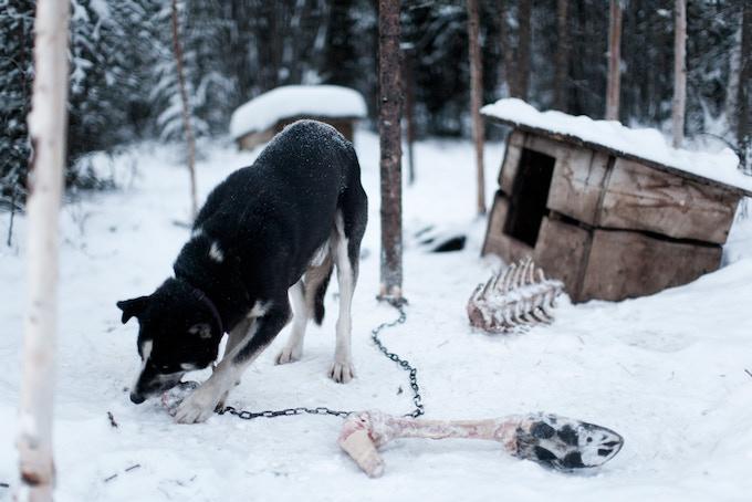 "Sled dog eats moose leg. 12x8"" Rafal Gerszak. Yukon, Canada. 2015"