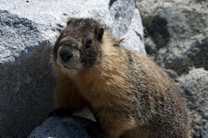 A marmot surveys the area