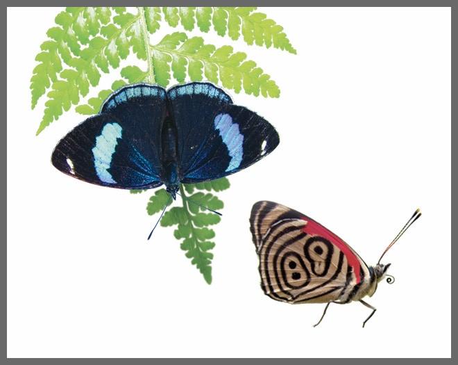 Anna's 88 (Diaethria anna) - My first butterfly love!