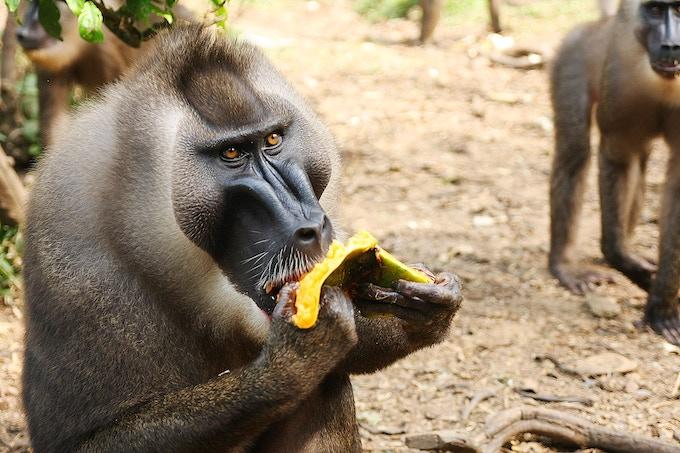 Drill Monkey - Nigeria