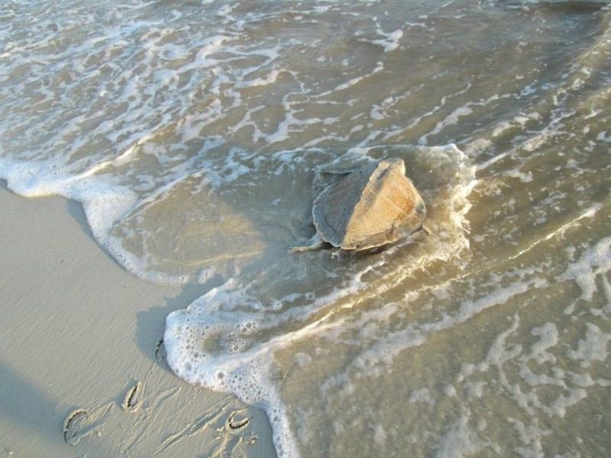 Kemp's Ridley - I had the honor of helping to release this turtle back to the ocean after being caught by a fisherman.