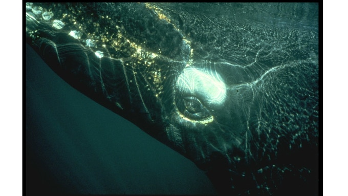 """Signed by photographer Iain Kerr, featured in the National Geographic Book """"Whales"""""""