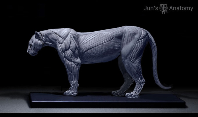 Cougar Anatomy Model, this is a WIP final pose maybe different than what's being presented here.
