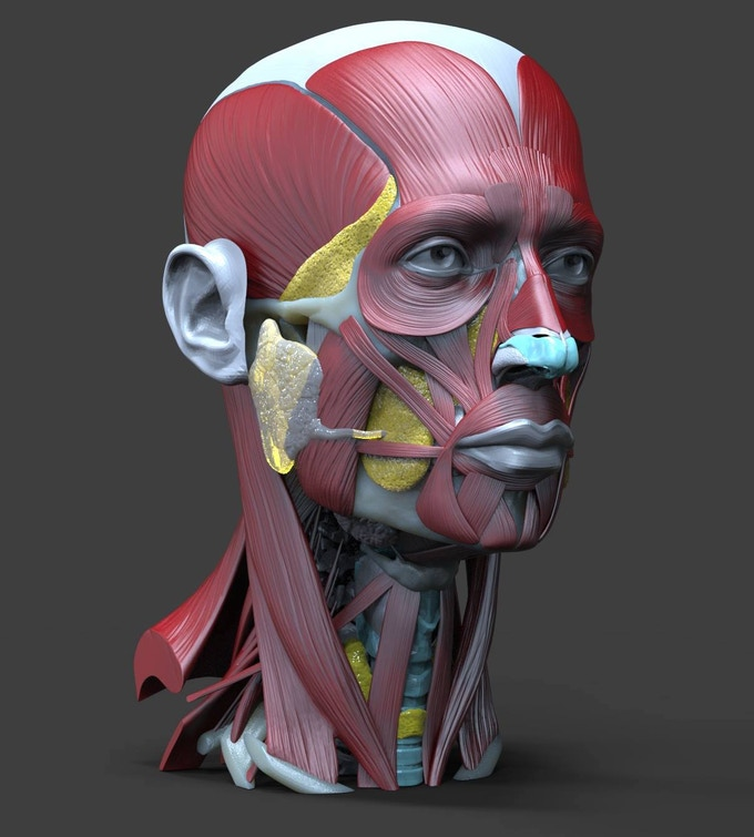 Head Neck Anatomy A Book With 3d Augmented Reality By Sandis