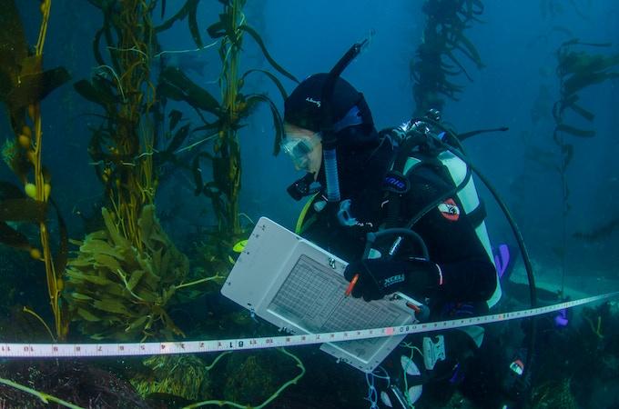 A Reef Check diver surveys the seaweed at Santa Cruz Island.
