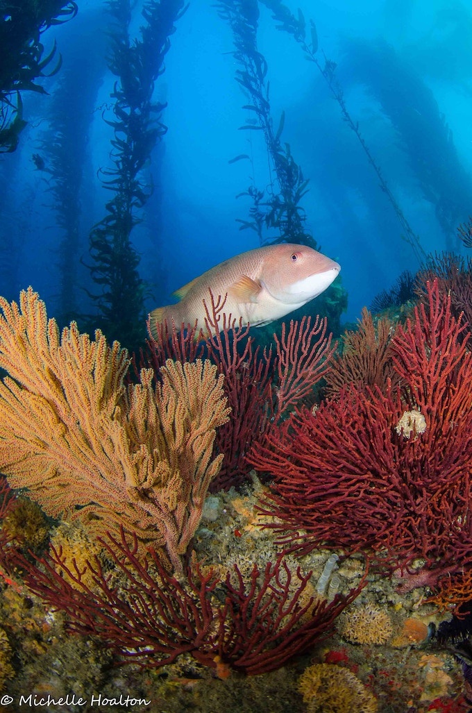 Several Reef Check indicator species including sheephead, gorgonians and giant kelp.