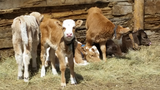 Calves born this past spring