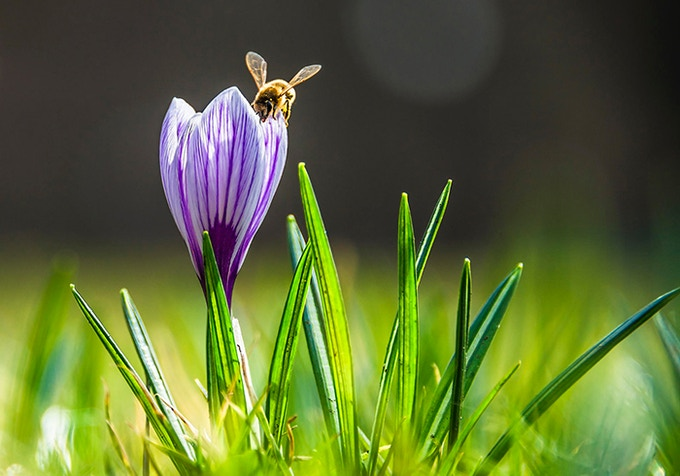 The Bee on the Flower