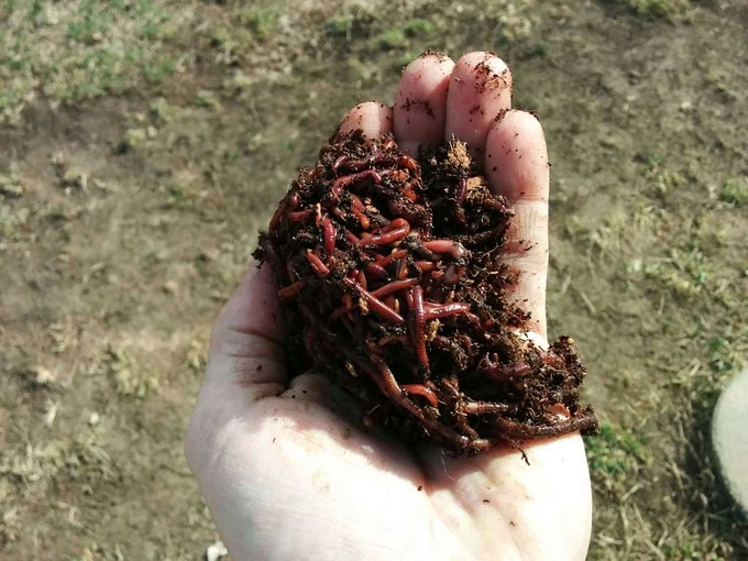 Most Common Composting Worm - Red Wigglers