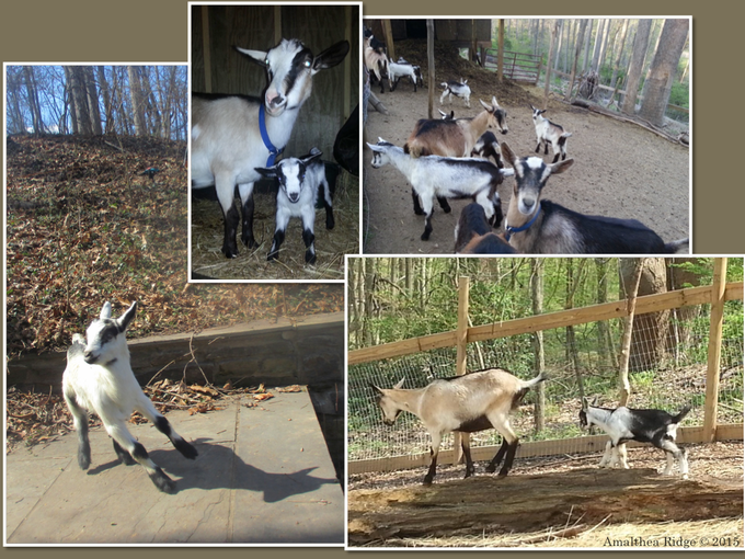 A few of our Alpine dairy goats