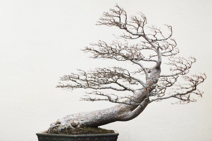 Chinese Elm, training date unknown