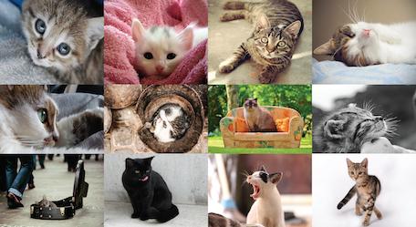 2016 Limited Edition Cat Calendar