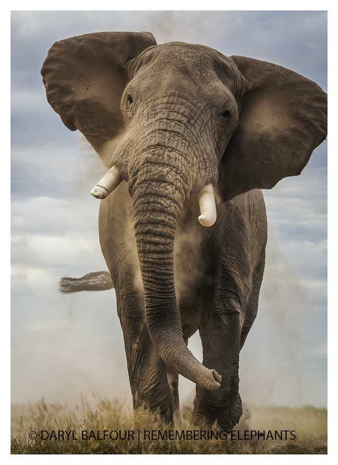 Elephant Bull Charge, donated by Daryl Balfour