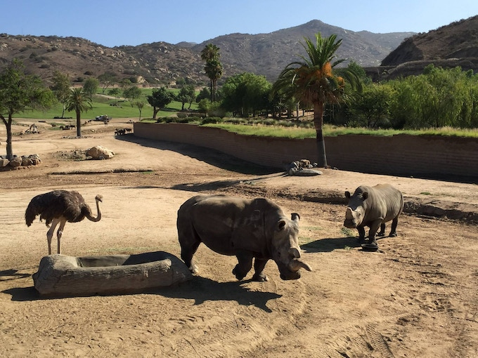 Nola, the last Northern White Rhino in the US, stands in the field with two friends (San Diego Zoo)