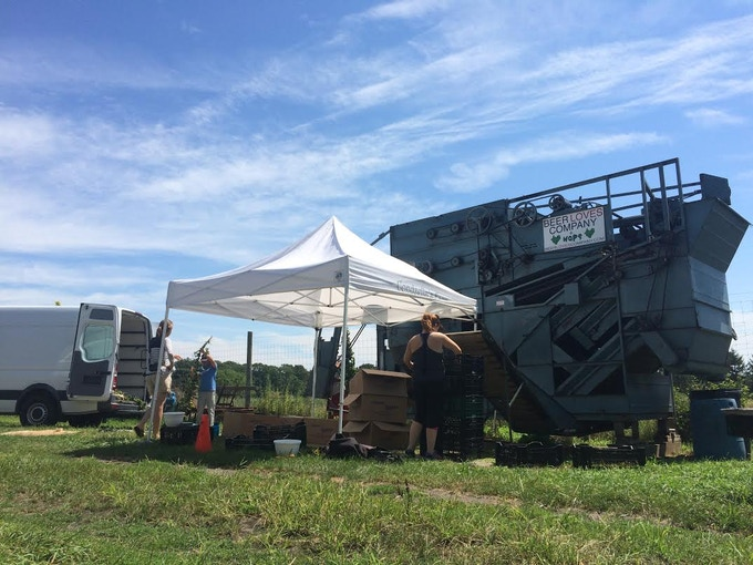 Harvesting Farm to Pint hops at Condzella Farms
