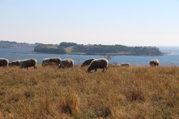 Sheep on the island of Rügen