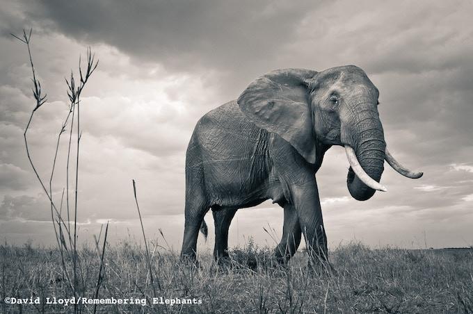 'Elephant Matriarch', print donated by David Lloyd